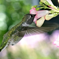 Hungry Humming Bird Wide Hd Wallpapers