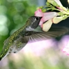 Download hungry hummingbird wallpapers, hungry hummingbird wallpapers Free Wallpaper download for Desktop, PC, Laptop. hungry hummingbird wallpapers HD Wallpapers, High Definition Quality Wallpapers of hungry hummingbird wallpapers.