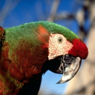 Hybrid Macaw Parrot Hd Wallpapers
