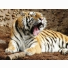 Indian Bengal Tiger Wallpapers