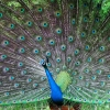 Download indian peafowl wallpapers, indian peafowl wallpapers Free Wallpaper download for Desktop, PC, Laptop. indian peafowl wallpapers HD Wallpapers, High Definition Quality Wallpapers of indian peafowl wallpapers.