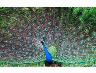 Indian Peafowl Wallpapers