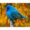 Indigo Bunting Hd Wallpapers