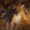 Download intense focus leopard wallpapers, intense focus leopard wallpapers Free Wallpaper download for Desktop, PC, Laptop. intense focus leopard wallpapers HD Wallpapers, High Definition Quality Wallpapers of intense focus leopard wallpapers.