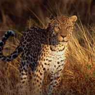 Intense Focus Leopard Wallpapers