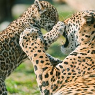 Jaguar Cub Fighting Mother Wallpapers