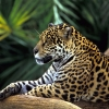 Download jaguar in amazon rainforest wallpapers, jaguar in amazon rainforest wallpapers Free Wallpaper download for Desktop, PC, Laptop. jaguar in amazon rainforest wallpapers HD Wallpapers, High Definition Quality Wallpapers of jaguar in amazon rainforest wallpapers.