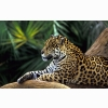 Jaguar In Amazon Rainforest Wallpapers