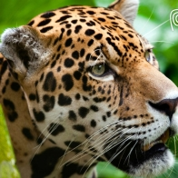 Jaguar The Big Cat Wallpapers