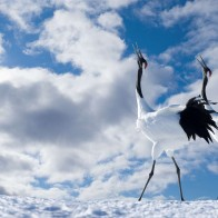 Japanese Cranes Wallpapers