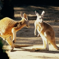 Kangaroo Conversation Australia Wallpapers