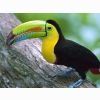 Kell Billed Toucan Panama Wallpapers