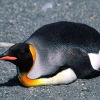 Download king penguin 8 hd wallpapers, king penguin 8 hd wallpapers Free Wallpaper download for Desktop, PC, Laptop. king penguin 8 hd wallpapers HD Wallpapers, High Definition Quality Wallpapers of king penguin 8 hd wallpapers.