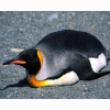 King Penguin 8 Hd Wallpapers