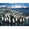 King Penguin 9 Hd Wallpapers