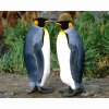 King Penguin Hd Wallpapers