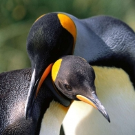 King Penguins Hd Wallpapers