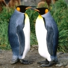 Download king penguins wallpapers, king penguins wallpapers Free Wallpaper download for Desktop, PC, Laptop. king penguins wallpapers HD Wallpapers, High Definition Quality Wallpapers of king penguins wallpapers.