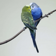 Kissing Budgies Wallpapers