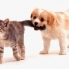 Download kitten and puppy cover, kitten and puppy cover  Wallpaper download for Desktop, PC, Laptop. kitten and puppy cover HD Wallpapers, High Definition Quality Wallpapers of kitten and puppy cover.