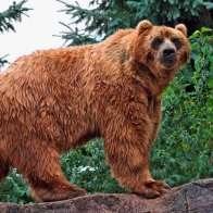 Kodiak Bear Wallpapers
