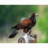 Land Harris Hawk Hd Wallpapers