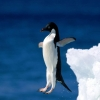 Download leap of faith penguin hd wallpapers, leap of faith penguin hd wallpapers Free Wallpaper download for Desktop, PC, Laptop. leap of faith penguin hd wallpapers HD Wallpapers, High Definition Quality Wallpapers of leap of faith penguin hd wallpapers.