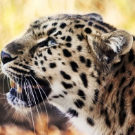 Leopard 1080p Wallpapers