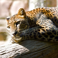 Leopard Hq Wallpapers