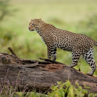 Leopard Kenya Wallpapers