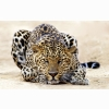 Leopard Staring Wallpapers