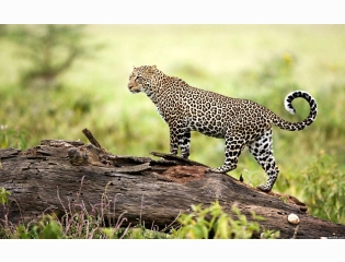 Leopard Wildlife Wallpapers