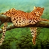 Download leoparden leopard wallpapers, leoparden leopard wallpapers Free Wallpaper download for Desktop, PC, Laptop. leoparden leopard wallpapers HD Wallpapers, High Definition Quality Wallpapers of leoparden leopard wallpapers.