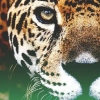 Download leopards cover, leopards cover  Wallpaper download for Desktop, PC, Laptop. leopards cover HD Wallpapers, High Definition Quality Wallpapers of leopards cover.