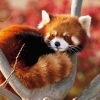 Download lesser panda japan wallpapers, lesser panda japan wallpapers Free Wallpaper download for Desktop, PC, Laptop. lesser panda japan wallpapers HD Wallpapers, High Definition Quality Wallpapers of lesser panda japan wallpapers.