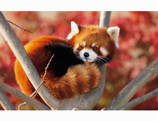 Lesser Panda Japan Wallpapers