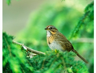 Lincoln Sparrow Hd Wallpapers