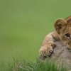 Download lion cub cover, lion cub cover  Wallpaper download for Desktop, PC, Laptop. lion cub cover HD Wallpapers, High Definition Quality Wallpapers of lion cub cover.