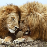 Lions Pair Wallpapers