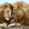 Download Lions Pair HD & Widescreen Games Wallpaper from the above resolutions. Free High Resolution Desktop Wallpapers for Widescreen, Fullscreen, High Definition, Dual Monitors, Mobile