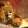 Download lions widescreen wallpapers, lions widescreen wallpapers Free Wallpaper download for Desktop, PC, Laptop. lions widescreen wallpapers HD Wallpapers, High Definition Quality Wallpapers of lions widescreen wallpapers.