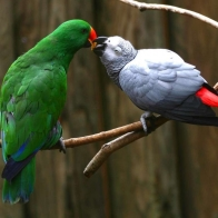 Love Parrots Hd Wallpapers