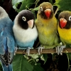 Download lovebirds wallpapers, lovebirds wallpapers Free Wallpaper download for Desktop, PC, Laptop. lovebirds wallpapers HD Wallpapers, High Definition Quality Wallpapers of lovebirds wallpapers.