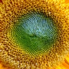 Download lovely sunflowers widescreen, lovely sunflowers widescreen  Wallpaper download for Desktop, PC, Laptop. lovely sunflowers widescreen HD Wallpapers, High Definition Quality Wallpapers of lovely sunflowers widescreen.
