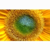 Lovely Sunflowers Widescreen