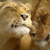 Download loving lions wallpapers, loving lions wallpapers Free Wallpaper download for Desktop, PC, Laptop. loving lions wallpapers HD Wallpapers, High Definition Quality Wallpapers of loving lions wallpapers.