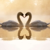 Download loving swans wallpapers, loving swans wallpapers Free Wallpaper download for Desktop, PC, Laptop. loving swans wallpapers HD Wallpapers, High Definition Quality Wallpapers of loving swans wallpapers.