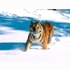 Majestic Grace Siberian Tiger Wallpapers