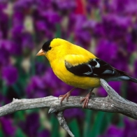Male American Goldfinch Hd Wallpapers