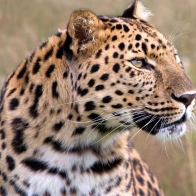 Male Amur Leopard Wildlife Heritage Uk Wallpapers